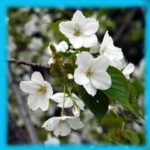 散る桜 匂う桜も 散る桜