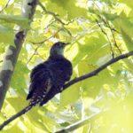 ツツドリが渡りの途中に池の中島の高木でひと休み
