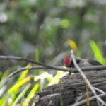 アオゲラが地面近くでアリを探していました(08.5.14)