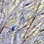 鳥仲間3人で 宮ヶ瀬に行ってきました。ベニマシコ、ホオジロ、ルリビタキ、ジョウビタキ♀その他