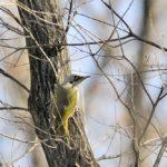 浅間山(多摩)の小鳥たちとコジュケイ(09.1.2~090.1.6)—番外編—