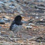 舳倉島�ツグミ科の小鳥たち