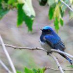 舳倉島�青い鳥,赤い鳥、(09.5.6)