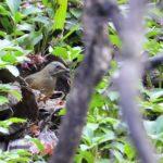 アカハラを池の島で発見!この池では初体験撮影–09.12.30—