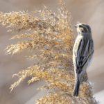 ○葛西臨海公園の鳥たち・・・オオジュリン、水鳥