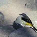 川筋の小鳥達と水鳥&T氏の広大な屋敷に飛来する小鳥達①—10.12.27—