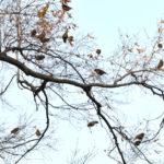 カワラヒワ(Oriental Greenfinch)が緑陰広場の秋楡の実に大群で飛来!—12.3.25—