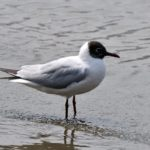 ユリカモメ Black-headed Gull (Chroicocephalus ridibundus) —12.4.6—