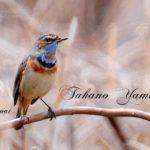 オガワコマドリ-(Bluethroat) —12.4.10—