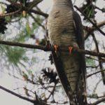 カッコウ(Euracian cuckoo)がまだ滞在                     —12.6.4—