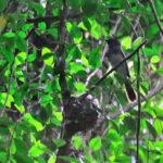 サンコウチョウJapanese Paradise Flycatcherの子育て—12.7.1—