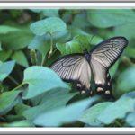 ジャコウアゲハ Atrophaneura alcinous —12.7.20—