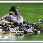 カイツブリ(鳰、Tachybaptus ruficollis)第4子誕生-雛1羽がその日に大きな鯉に—12.8.16—