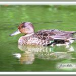 コガモが渡りの水鳥のTOPを切って池に!  —12.9.27—