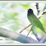 サンコウチョウ(Japanese Paradise  Flycatcher)       —12.9.5—