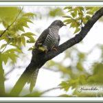 ツツドリ(Oriental Cuckoo)-赤色型-が公園のFIELDに立ち寄る   —12.9.29—