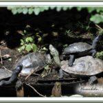 カメFAMILYとヤマガラ —2012.10.1—