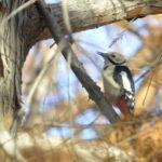 アカゲラ(Great Spotted Woodpecker)   —2012.12.13—