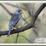 コイカル(Yellow-bellied Grosbeak) 雌 メス ♀   —2013.2.10—