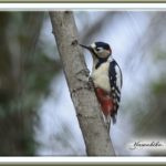 アカゲラ( Great Spotted Woodpecker)♂—2013.2.5—