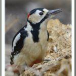 アカゲラ( Great Spotted Woodpecker)♂ 過去のMY CHOICE —2013.3.17—