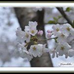 さくらー陽春   —13.3.23—