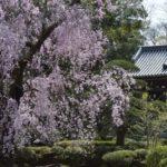 観泉寺のしだれ桜    —13.4.1—