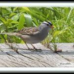 珍鳥ーミヤマシトド(White-crowned Sparrow)   —13.4.23—