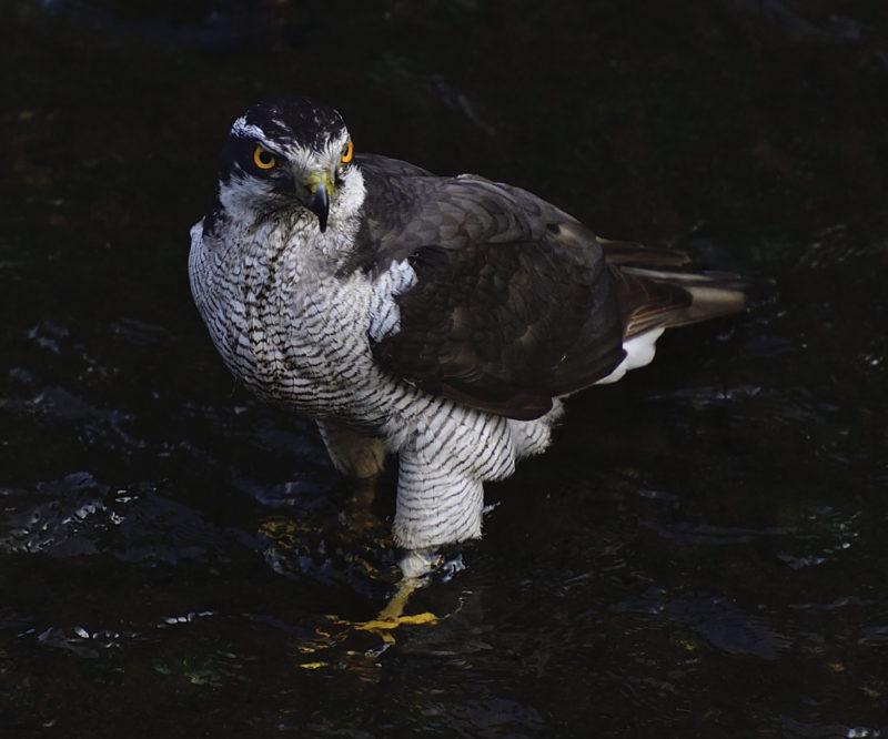 オオタカ(雄)-子育て中の水浴びと枝止まり