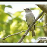コサメビタキ(Asian Brown Flycatcher) &キビタキ            —13.5.9—