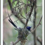 サンコウチョウ(Japanese Paradise  Flycatcher)       —13.6.4—