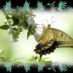 アゲハチョウ  2態     —13.7.21—