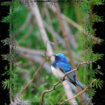 オオルリ(Blue &White Flycatcher)        —13.7.29—