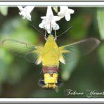 オオスカシバはいつもアベリアの花に・・・・   —13.8.8—