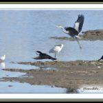 珍鳥ヘラサギ①(Eurasian Spoonbill)  コウノトリ目トキ科     —13.11.30—