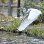 チュウサギ(Intermediate Egret)       —13.12.22—