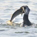 カワウ(Great  Cormorant)     —14.1.18—