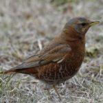 ヒタキ科の野鳥たち     —14.3.14—