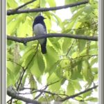 オオルリ(Blue &White Flycatcher)           —14.4.22—