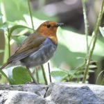 コマドリ(Japanese Robin)  雌雄            —2014.5.3—
