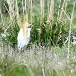 アマサギ(Cattle Egret)       —14.5.3—