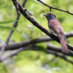 サンコウチョウ(Japanese Paradise Flycatcher)      —'14.8.30—