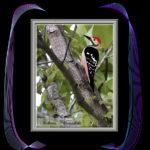 オオアカゲラ(White-backed Woodpecker)      —14.8.8—