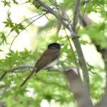 サンコウチョウ(Japanese Paradise Flycatcher)  の若鳥 未だ滞在中!    —'14.8.30—