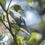 アオバト(White-bellied Green Pigeon)    —'14.9.13—