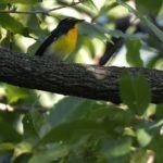 キビタキ(Narusisus Flycatcher)♂♀     —14.9.14—