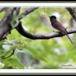 サンコウチョウ(Japanese Paradise Flycatcher)  の若鳥 未だ滞在中!–6日目    —'14.8.30—