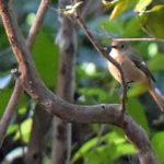 ジョウビタキ(Daurian Redstart ) ♀         —'14.11.14—