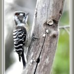 コゲラ(Japanese Pygmy Woodpecker)     —15.1.29—