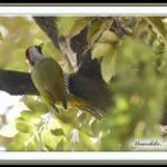 アオゲラ(Japanese Green Woodpecker) 雄   —15.1.23—